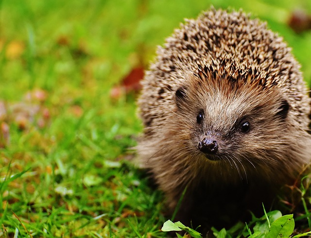 Hedgehog Child